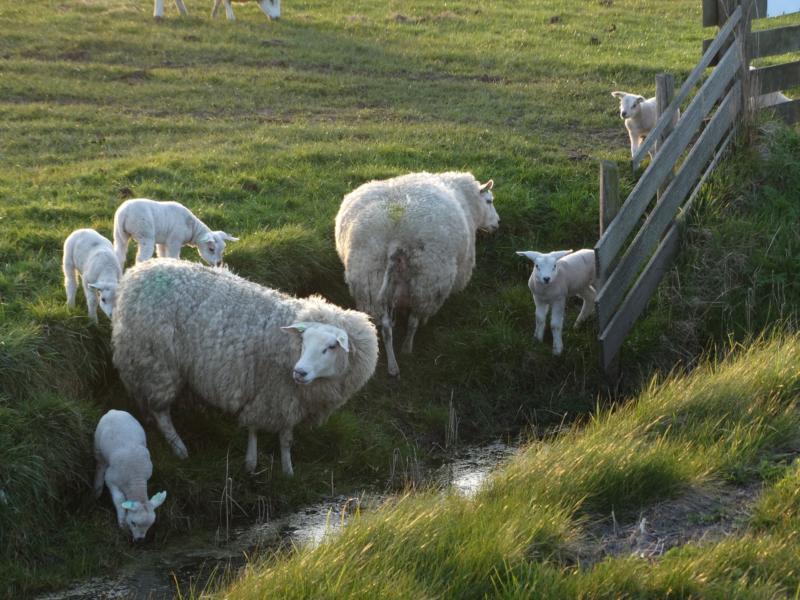 Texel – Schafe