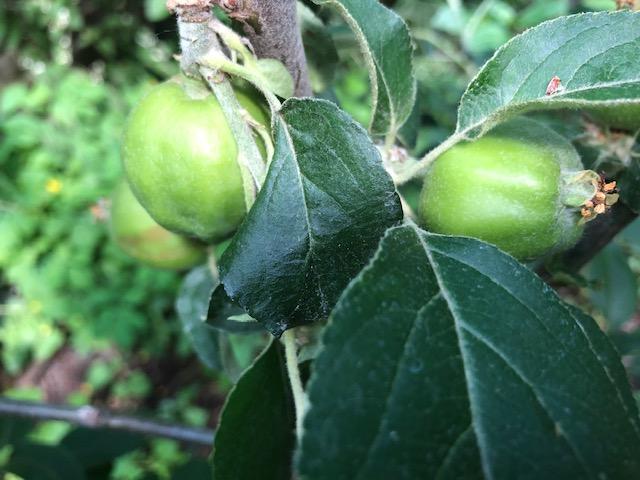Grüne Äpfel am Baum
